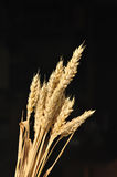 金黄的谷物 免版税图库摄影