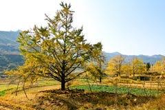 金黄的银杏树 库存照片
