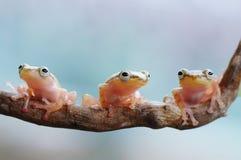 金黄的青蛙 库存图片