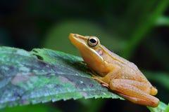 金黄的青蛙 图库摄影