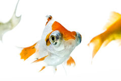 金黄的鱼 图库摄影