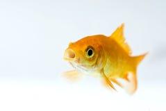 金黄的鱼 库存图片