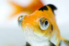 金黄的鱼 免版税图库摄影