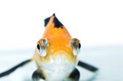金黄的鱼 库存照片