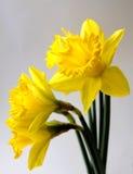 金黄的黄水仙 免版税图库摄影