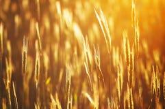 金黄的cropfield 免版税库存照片