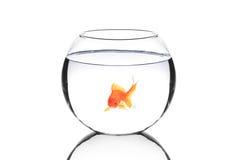 金黄碗的鱼 免版税图库摄影
