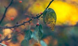 金黄秋叶和莓果 库存照片