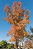 金黄秋天在南加州-种类,在12月中旬和集合反对精采清楚的加利福尼亚天空 免版税图库摄影