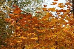 金黄秋天在森林里 库存图片