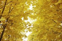 金黄秋天枫叶和天空 库存照片