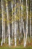 金黄秋天,桦树森林背景 免版税库存图片