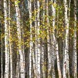 金黄秋天,桦树森林背景 免版税库存照片