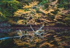 金黄秋天 染黄在一个小池塘反映的色的树 图库摄影