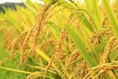 金黄米在农场 免版税库存照片