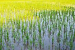 金黄米领域闪烁的等待的收获 免版税库存图片