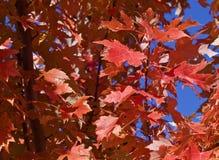 金黄红色秋天槭树叶子 免版税库存照片
