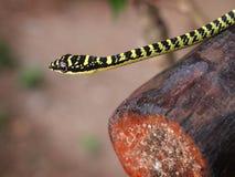 金黄结构树蛇 免版税库存图片