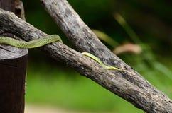 金黄结构树蛇(Chrysopelea ornata) 库存图片
