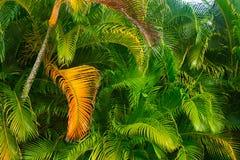 金黄绿色棕榈树的叶状体转动 库存图片
