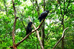 金黄翼黑色鹦鹉在公园 图库摄影