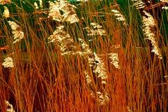 金黄芦苇 库存图片