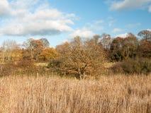 金黄草用茅草盖秋天背景充分的风景 免版税库存图片