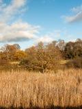 金黄草用茅草盖秋天背景充分的风景 库存图片