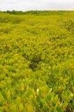 金黄草甸在自然美洲红树森林里,自然本底的 库存照片