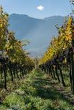 金黄葡萄树用成熟蓝色黑比诺葡萄酒葡萄 库存照片