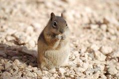 金黄被覆盖的地松鼠吃 免版税库存图片