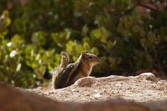 金黄被覆盖的地松鼠在森林里 图库摄影