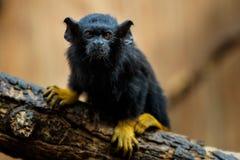 金黄被递的绢毛猴 绢毛猴Saguinus麦得斯 免版税库存图片