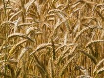 金黄谷物成熟麦子 库存照片