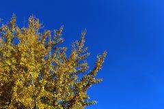 金黄银杏树biloba在反对蓝天的秋天 免版税库存图片