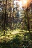 金黄阳光由后照的树木繁茂的林木在日落前 免版税库存图片