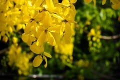 金黄阵雨花绽放在庭院里 Ratchaphruek花 与绿色叶子的黄色花分支在夏天 图库摄影