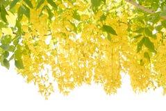 金黄阵雨treeCassia瘘花  免版税库存图片