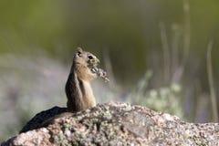 金黄陆运后被覆盖的地面松鼠类灰鼠 免版税库存照片
