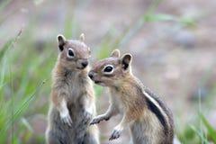 金黄陆运后覆盖了地面松鼠类灰鼠 免版税图库摄影