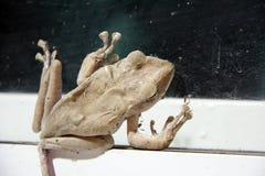 金黄雨蛙攀登的布朗颜色在玻璃的与白色铝门 免版税库存照片