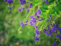 金黄露珠, Crepping天空花,鸽子莓果 由泰国人告诉蜡烛下落 它是一朵紫色花 免版税库存照片