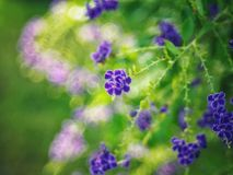 金黄露珠, Crepping天空花,鸽子莓果 由泰国人告诉蜡烛下落 它是一朵紫色花 库存照片