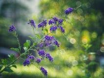 金黄露珠, Crepping天空花,鸽子莓果 由泰国人告诉蜡烛下落 它是一朵紫色花 免版税库存图片
