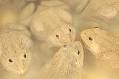 金黄青蛙。 免版税图库摄影