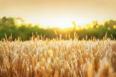 金黄麦子和金黄阳光 免版税库存图片