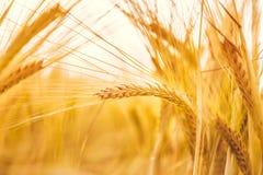 金黄麦子成熟在领域 麦子茎和黄色和橙色背景夏天五谷接近的选择聚焦软的树荫  图库摄影