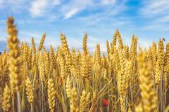 金黄麦子成熟领域 麦子茎和五谷红色鸦片关闭黄色和橙色与蓝天有云彩背景 免版税库存照片