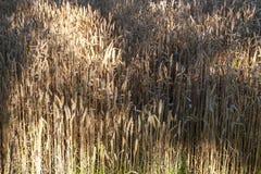金黄麦子收获在领域的 免版税库存图片