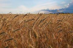 金黄麦子收获在领域的 图库摄影